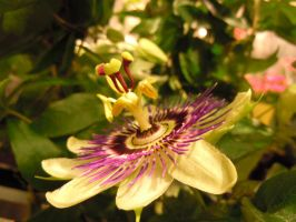 Yellow Passion Flower by michawolf13