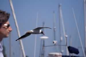 Black headed Seagull 4 by rbryant