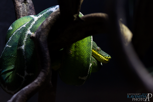 Emerald tree boa. by Ravenith