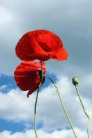 14-06 Poppies #5 - Reaching Towards Heaven by evionn
