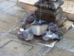 Bathing pigeons stock 1 by LittleOph