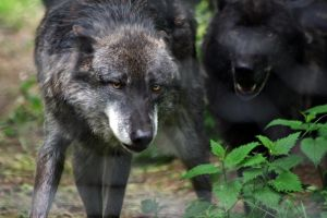 Black Wolf1 by Prinzess-Stock