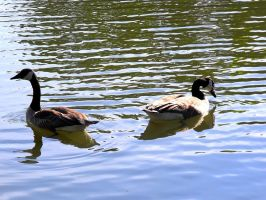 Gooses, geeses by JohnnyNiffer