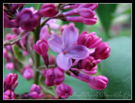 Blossoming Lilac by FriendlyButterfly