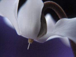 White Cyclamen by webworm