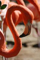 Flamingo 4F by jessicarock