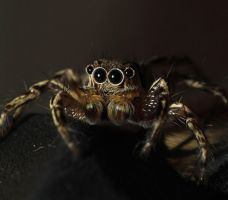 Jumping Spider 3 by bleu3t