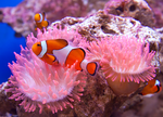 Clownfish by RoyallyCrimson