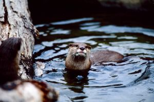 Asian Otter 4 by Art-Photo