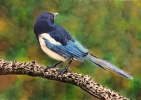 Magpie by anitapatterson