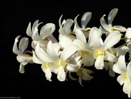 Garden flowers - White yellow Dendrobium Orchid by Mike-Kossi