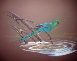 Red-rumped Parrot by Sasquatch69