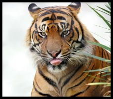 Sumatran Tiger 2 by Wolfy2k4
