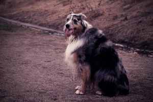Australian Shepherd by shutterwolf87