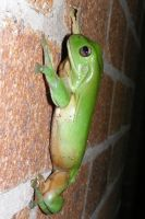 Green Tree Frog 11 by DigitalissSTOCK