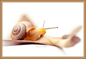 Snail Brown Border by chalutplease