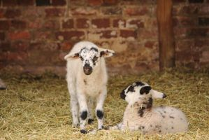 Mount Vernon lambs by jamberry-song