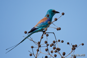 Abyssinian Roller by Solrac1993