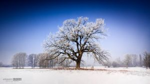 150 year old snow covered oak by NorbertKocsis