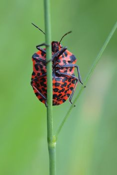 Graphosoma lineatum III by orestART
