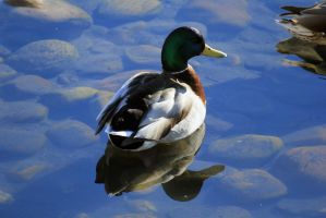 Mallard Duck by sgt-slaughter