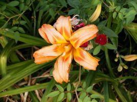Daylily with roses by celticpath