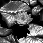 Waterlily by Knoetchen