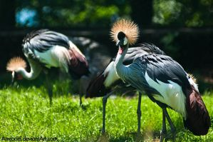 Grey Crowned Crane by amrodel