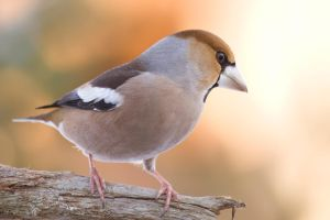 Hawfinch by RamzisII
