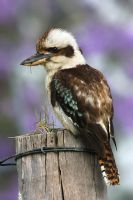 Laughing Kookaburra by Craig-Miller