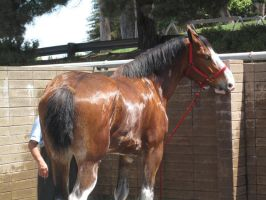 Clydesdale -2 by rachellafranchistock