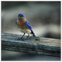 BlueBird by Karl-B