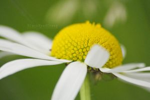 White and Yellow by blackeyedcreep