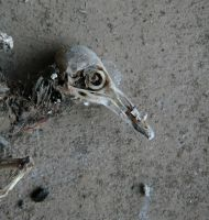 Mummified bird 2 - the head by barefootliam-stock
