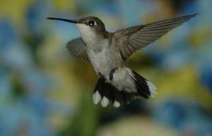 Humming bird in Flight 5 by Kallidoan
