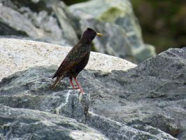 Starling Resting Upon A Rock by wolfwings1