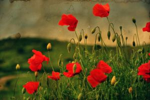 Poppies aquarel by ralucsernatoni