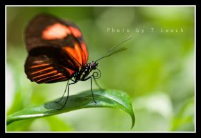 Red Passion by tleach0608