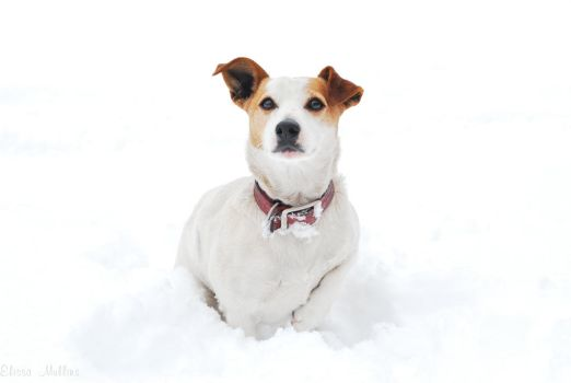 Ginger - Jack Russell by The-Thin-Ice