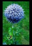 Blue Thistle by Forestina-Fotos