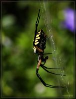 BlackYellow Argiope 40D0024441 by Cristian-M