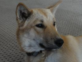 Korean Jindo by sarahbrightmanfan