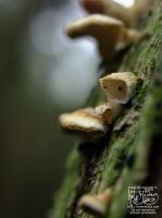 Tree fungi - ears by myceliae