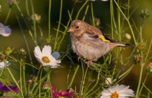 European Goldfinch and flowers by ErikEK