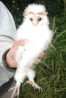 Baby Barn Owl by moonhare77