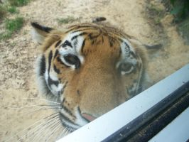 Tiger Close Up by iaml0st815