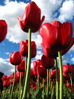 Red Tulips by sweetnov86