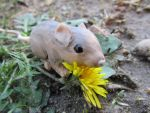 On the Brink (Pacific Pocket Mouse) by Sofia-the-Dreamer