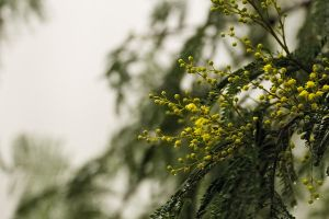 Mist and wattle 2 by Dryad-8