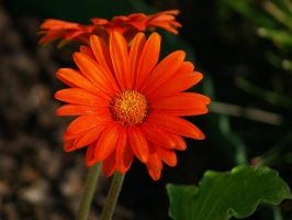 Lovely Gerbera by davincipoppalag